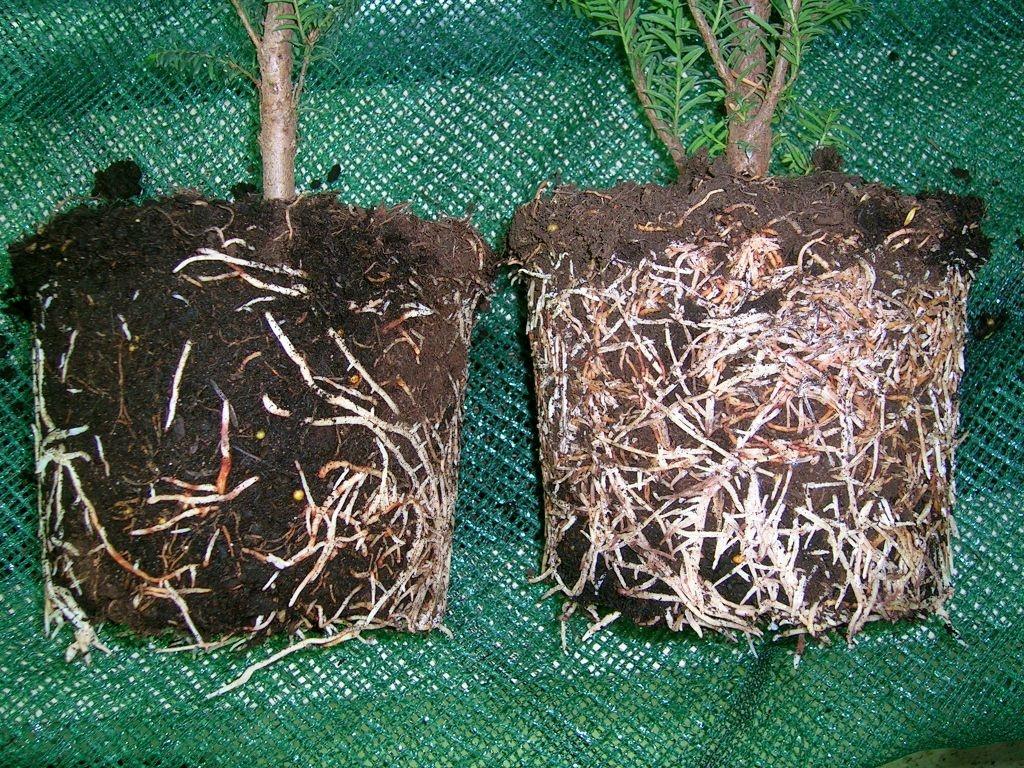 У растения в питомнике бережно сохраняются корневые волоски