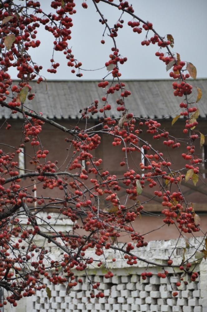 Copy of яблоня декоративная